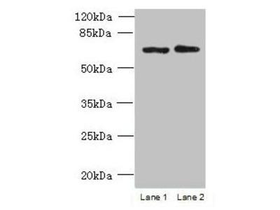 TBC1D19 Antibody