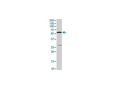 Anti-NOX2/gp91phox Antibody (54.1)
