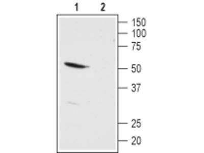 Anti-KCNK13 antibody