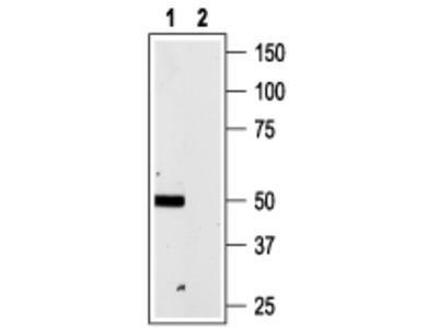 Anti-P2X4 antibody