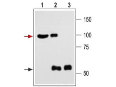 Anti-Maxi Potassium channel alpha antibody