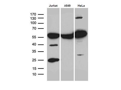 PTBP3 / ROD1 Monoclonal Antibody