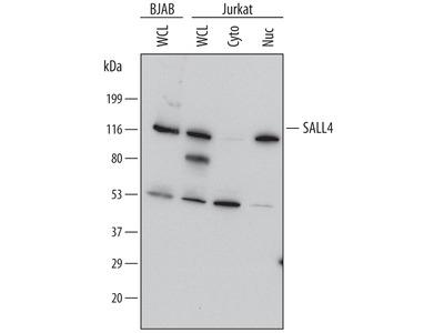 Human / Mouse SALL4 Antibody
