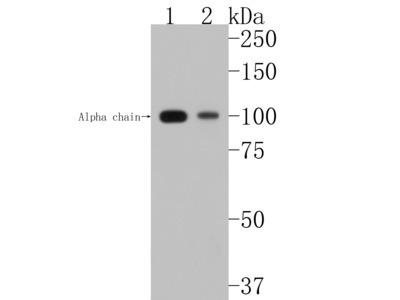 C3 Recombinant Rabbit Monoclonal Antibody [JF10-30] (ET1702-99)