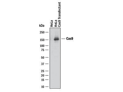 CRISPR-Cas9 Antibody