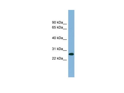 SRrp35 antibody - middle region