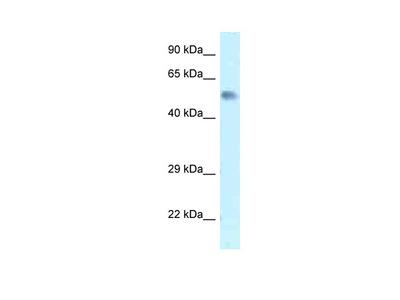Zfp472 antibody - N-terminal region