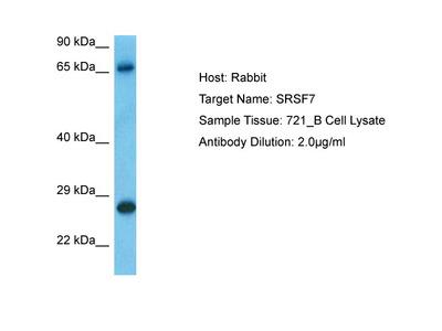SRSF7 Antibody - C-terminal
