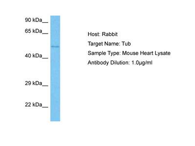 TUB Antibody - N-terminal region