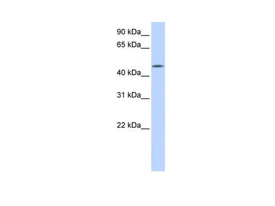 C20orf160 antibody - N-terminal region