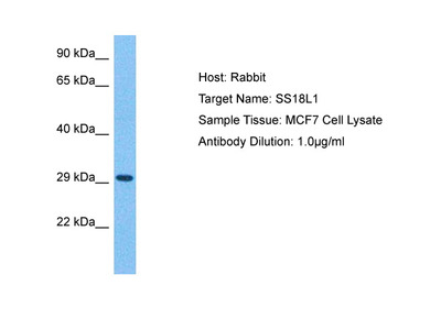 SS18L1 Antibody - middle region
