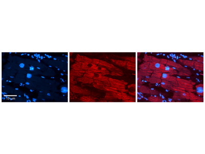 CITED2 antibody - N-terminal region