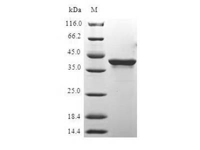 Recombinant Human Histone H2A.x (H2AFX)