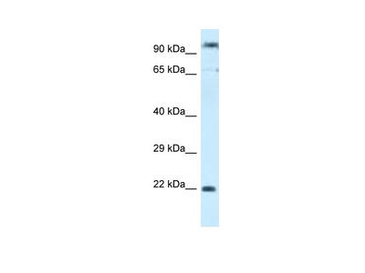 POLR3GL antibody - C-terminal region