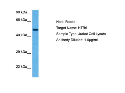 HTR6 Antibody - C-terminal region