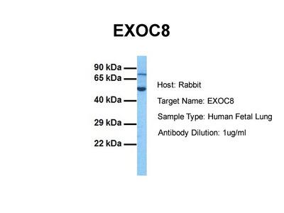 EXOC8 antibody - N-terminal region