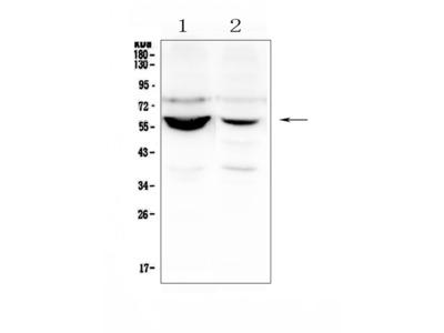 Anti-Nova1 Antibody