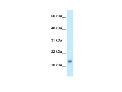 LYZL4 antibody - middle region