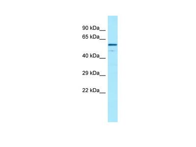 CFHR4 antibody - C-terminal region