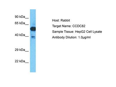 CCDC82 Antibody - C-terminal region