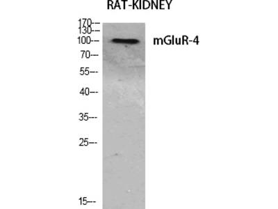 mGluR-4 Polyclonal Antibody