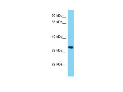 TMPRSS9 Antibody - C-terminal region
