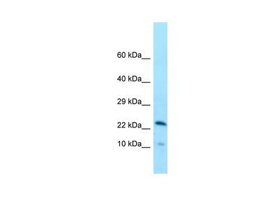 CCDC43 antibody - N-terminal region