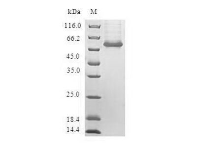 Recombinant Human Cyclic AMP-responsive element-binding protein 3-like protein 2 (CREB3L2)