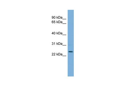 THAP6 antibody - middle region