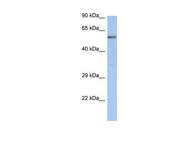 ZNF513 antibody - N-terminal region