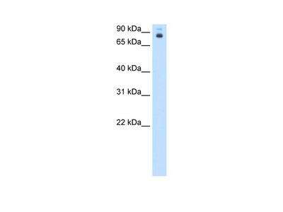 pb antibody - middle region