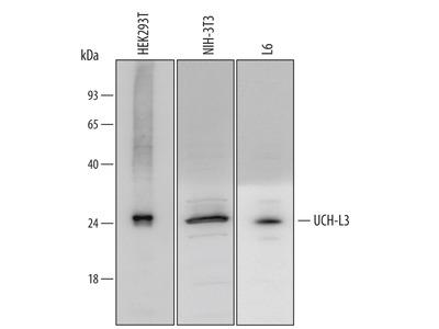 UCH-L3 Antibody