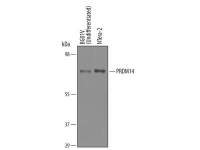 Human PRDM14 Antibody