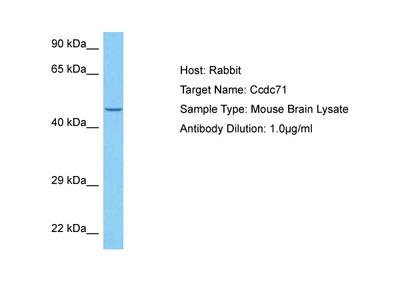 CCDC71 Antibody - N-terminal region