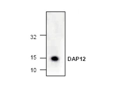 DAP12 Antibody