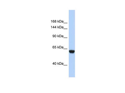 FHR4 Antibody - N-terminal region