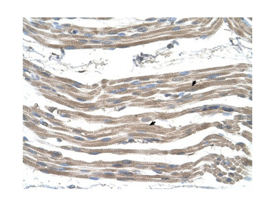 SLC25A22 Antibody