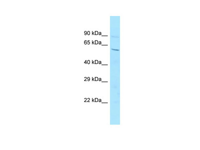 6720456H20Rik Antibody - middle region