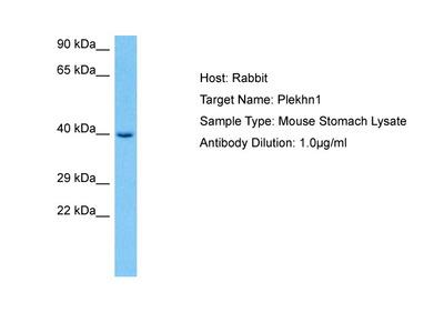 PLEKHN1 Antibody - middle region
