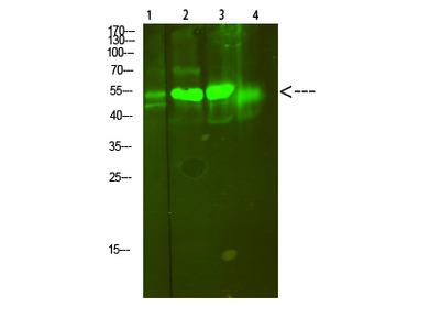 V-ATPase S1 Polyclonal Antibody