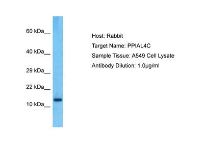 PPIAL4C Antibody - C-terminal region