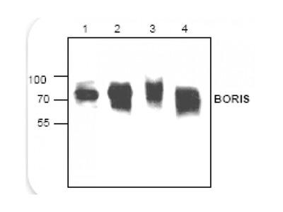Boris Antibody