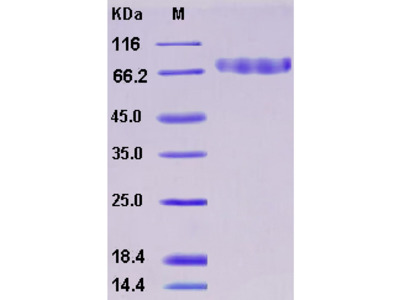 Recombinant Mouse CLEC14A / EGFR-5 Protein (His tag)