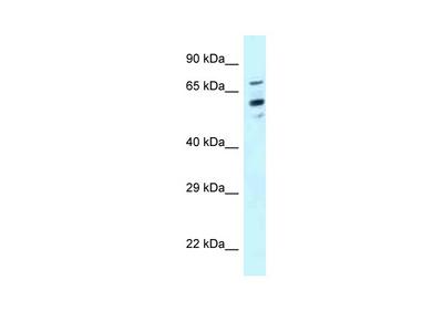 TOMM70 Antibody - N-terminal region
