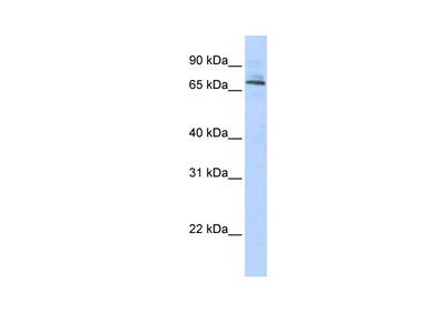 TRIM6 antibody - middle region