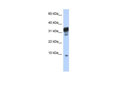 PXT1 antibody - middle region