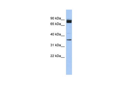 MGC48628 antibody - N-terminal region