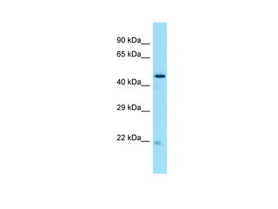 NOP53 Antibody - C-terminal region