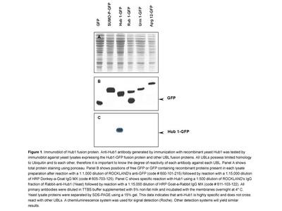 Anti-Yeast Hub1 Antibody