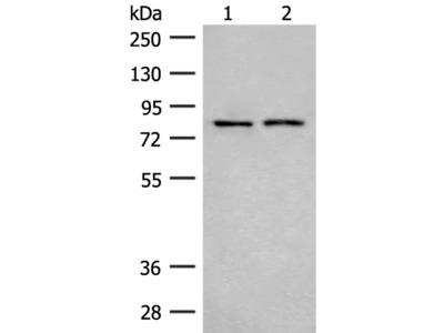 THOP1 Antibody